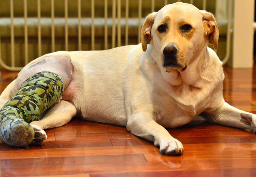 Does Pet Insurance Cover Cruciate Surgeries?